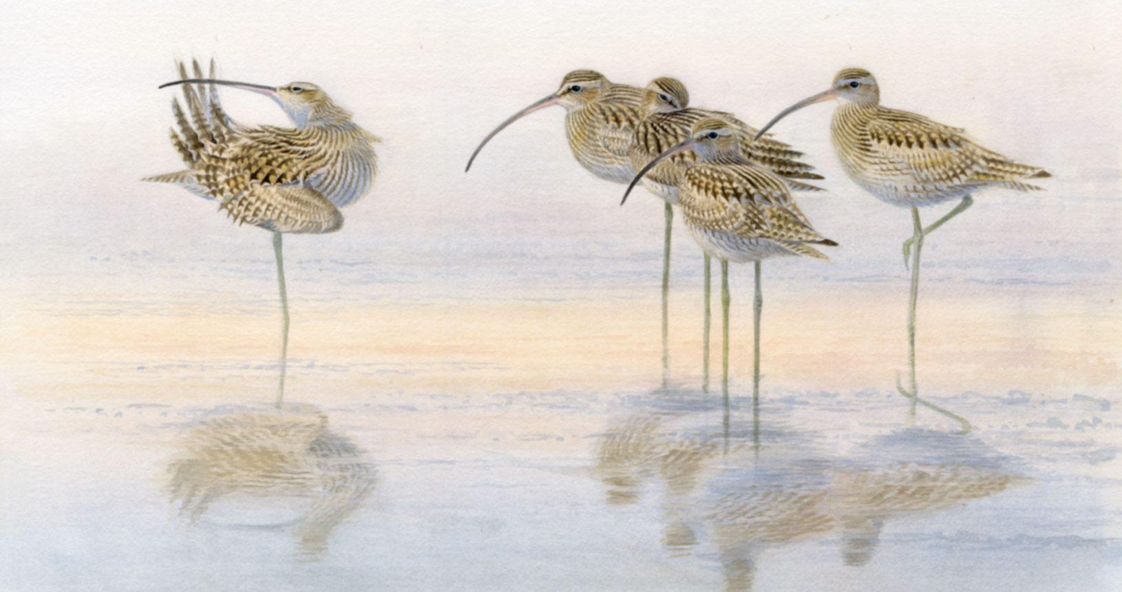 Großer Brachvogel © Christopher Schmidt