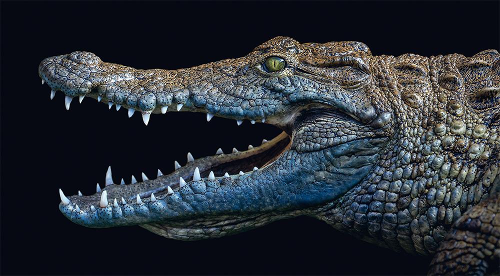 Nile crocodile. Photo © Pedro Jarque Krebs. All rights reserved.