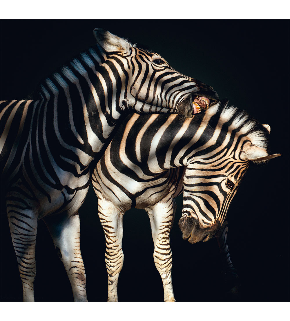 Zebra. Photo © Pedro Jarque Krebs. All rights reserved.