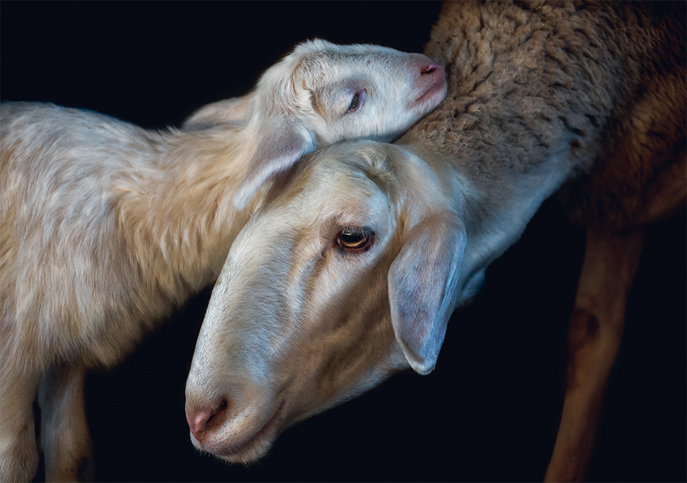 Domestic sheep. Photo © Pedro Jarque Krebs. All rights reserved.