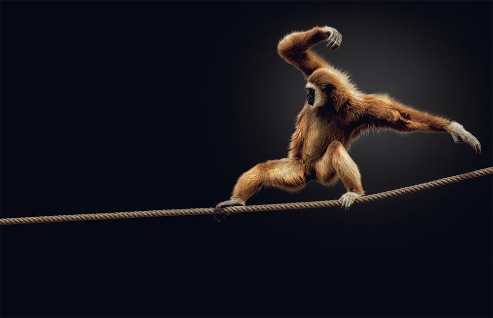 Lar gibbon. Photo © Pedro Jarque Krebs. All rights reserved.