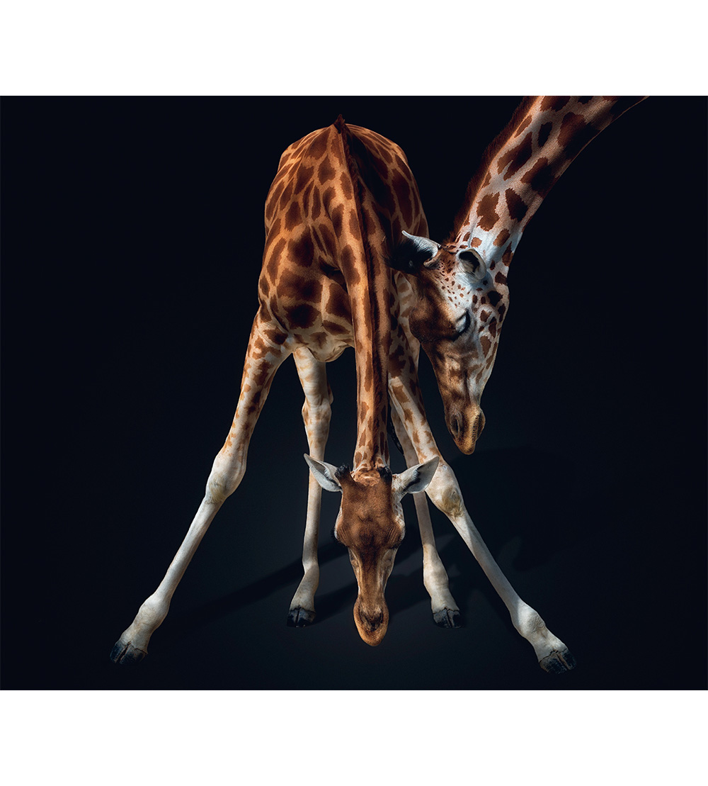 Giraffe. Photo © Pedro Jarque Krebs. All rights reserved.