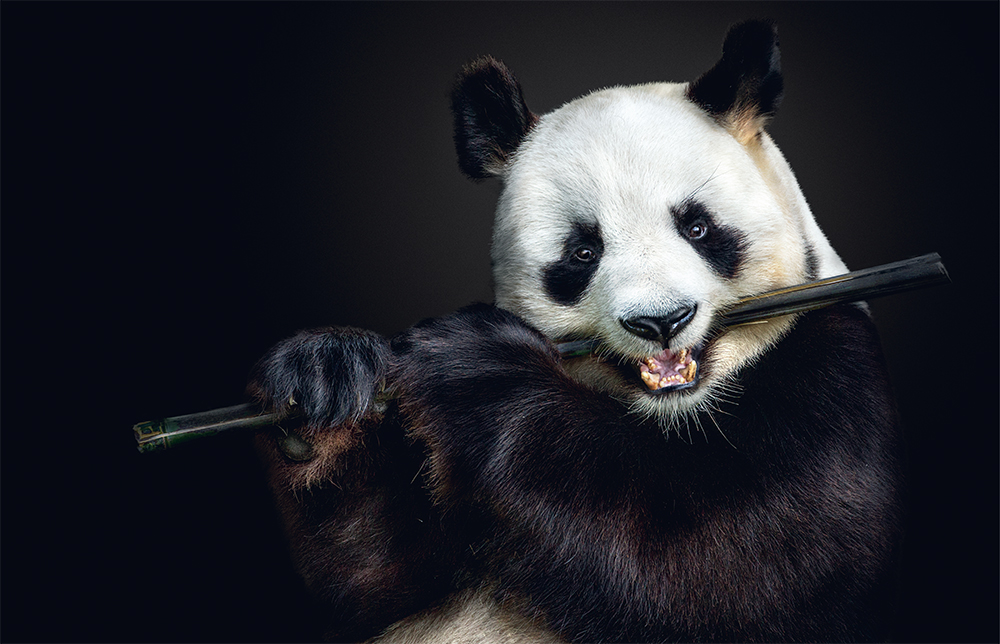 Giant panda. Photo © Pedro Jarque Krebs. All rights reserved.